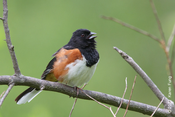 6 May: Eastern Towhee calling, Westchester County
