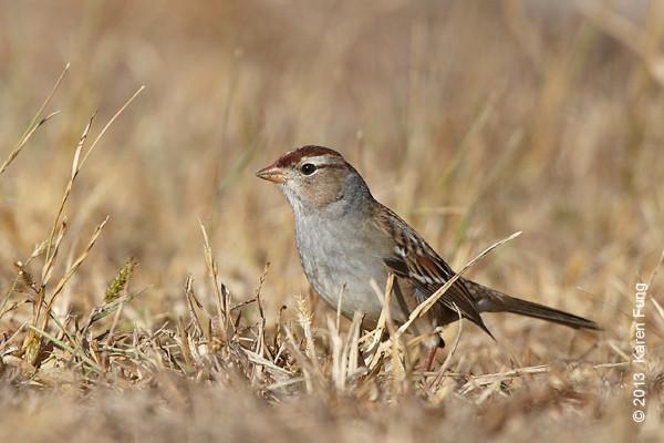 27 Oct: White-crowned Sparrow at Jones Beach CGS