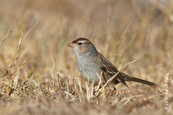 27 Oct: White-crowned Sparrow at Jones Beach CGS