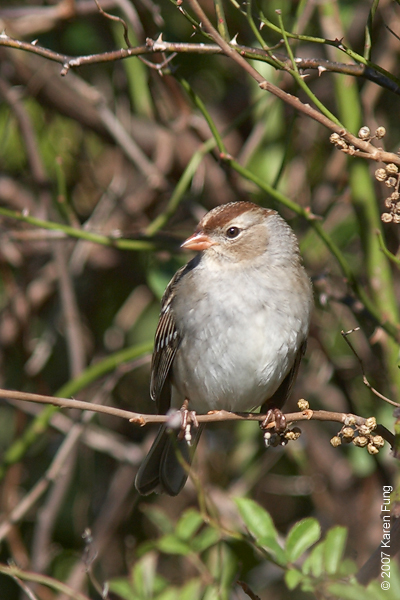 Juvenile White-crowned Sparrow in Cape May, NJ