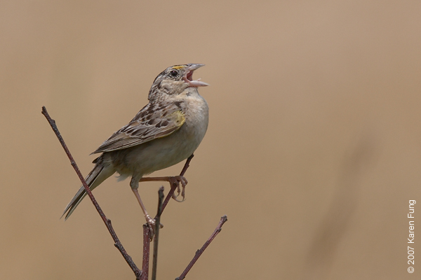 Grasshopper Sparrow singing in Calverton, NY