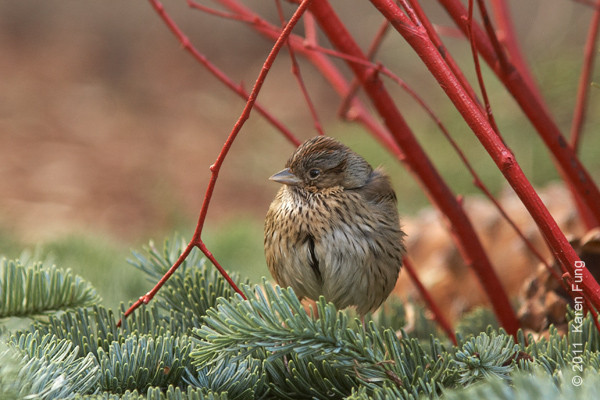 24 December: Lincoln's Sparrow in Bryant Park