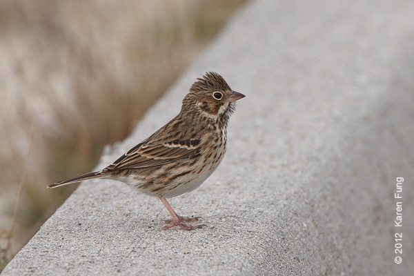 27 October: Vesper Sparrow at Jones Beach