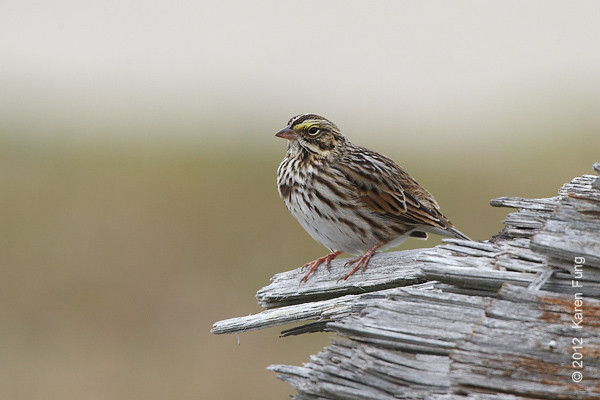 27 October: Savannah Sparrow at Jones Beach