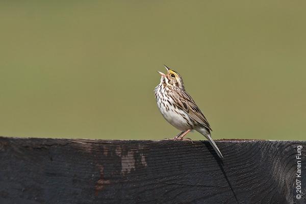 Savannah Sparrow singing in Ulster County, NY