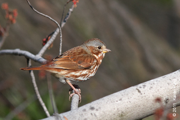 9 April: Fox Sparrow in Central Park