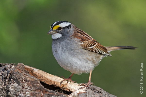 21 April:  White-throated Sparrow in Central Park
