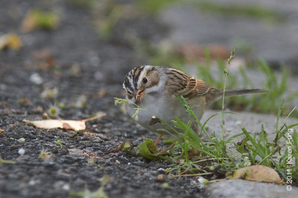 21 May: Clay-colored Sparrow in Central Park.  This is an uncommon species for the park, and is rarely seen in the spring.  The bird was found in the NE part of the Great Hill by Tom Perlman.