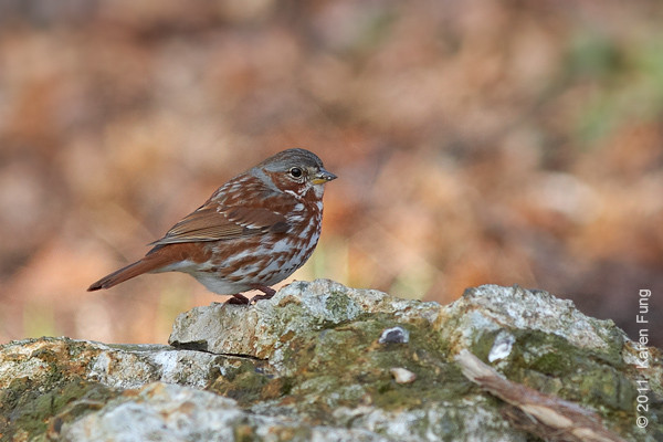 9 April: Fox Sparrow in Central Park