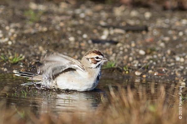 20 Dec: Lark Sparrow at Croton Point Park, Westchester