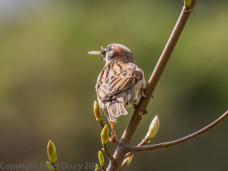Sparrow with a fly..
