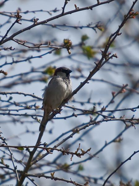 Sparrows (Passeridae)