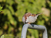 Male House Sparrow at Widley