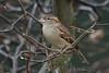 House sparrow, Gråspurv, Passer domesticus, Female, Gl. Holte, Danmark, Jan-2014