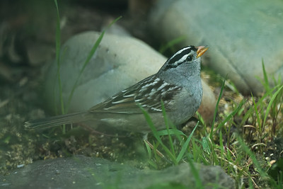 White-crowned Sparrow, Rosemont, Sac. Co. CA. 5-4-21.