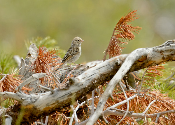Possible Vesper Sparrow, Island Lake trail, Elko County, Nevada, 8-19-14. Cropped image.