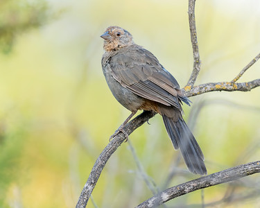 CALIFORNIA TOWHEE, AT MATHER REGIONAL PARK, SACRAMENTO CO, CA.