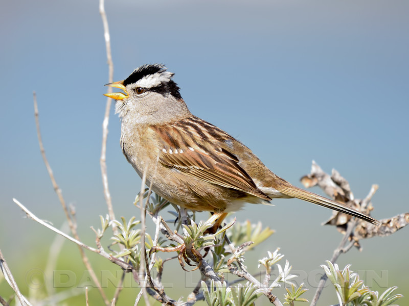 Nuttall's White-crowned Sparrow (Zonotrichia leucophrys nuttalli)