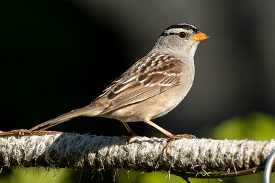 White-crowned Sparrow, Rosemont, Sac. Co. CA. 5-2-21
