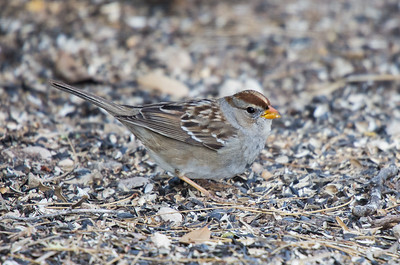 White-crowned Sparrow - 1st Winter (Zonotrichia leucophrys)