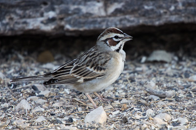 Lark Sparrow (Chondestes grammacus)