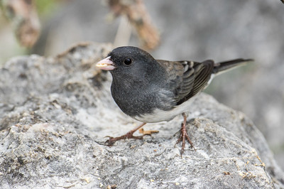 Slate-colored Dark-eyed Junco (Junco hyemalis) - Male
