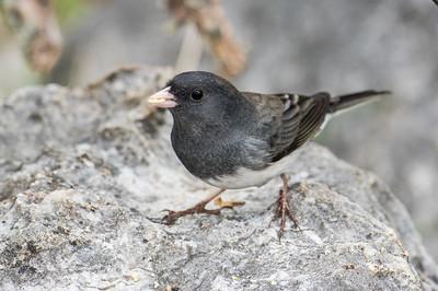 Slate-colored Dark-eyed Junco (Junco hyemalis) - Male