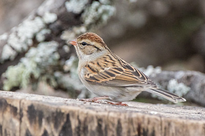Chipping Sparrow (Spizella passerine)