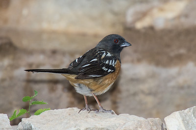 Spotted Towhee - male (Pipilo maculatus)