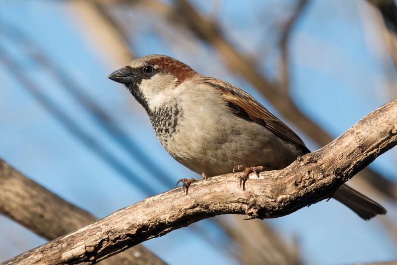 3-30-14 House Sparrow 1