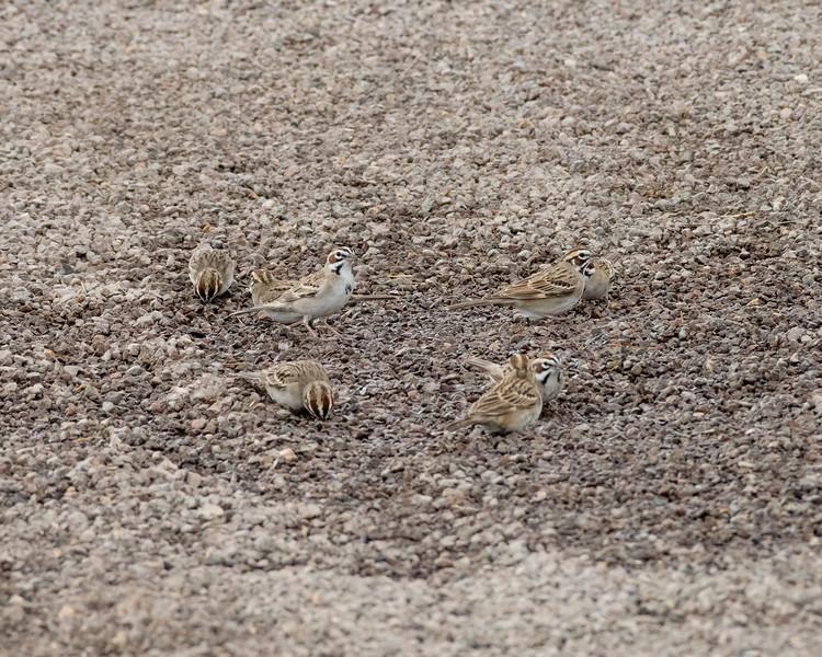 4-23-16 Lark Sparrow - Gage Gardens - Marathon, TX-151