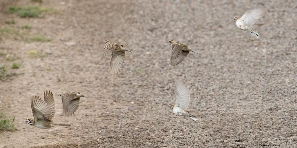 4-23-16 Lark Sparrow - Gage Gardens - Marathon, TX-153