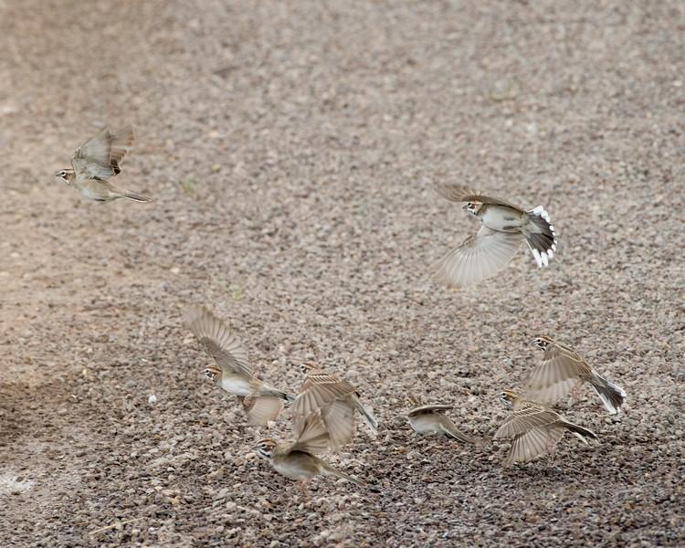 4-23-16 Lark Sparrow - Gage Gardens - Marathon, TX-152
