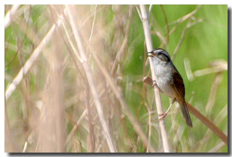 4-28-06 Song Sparrow 1