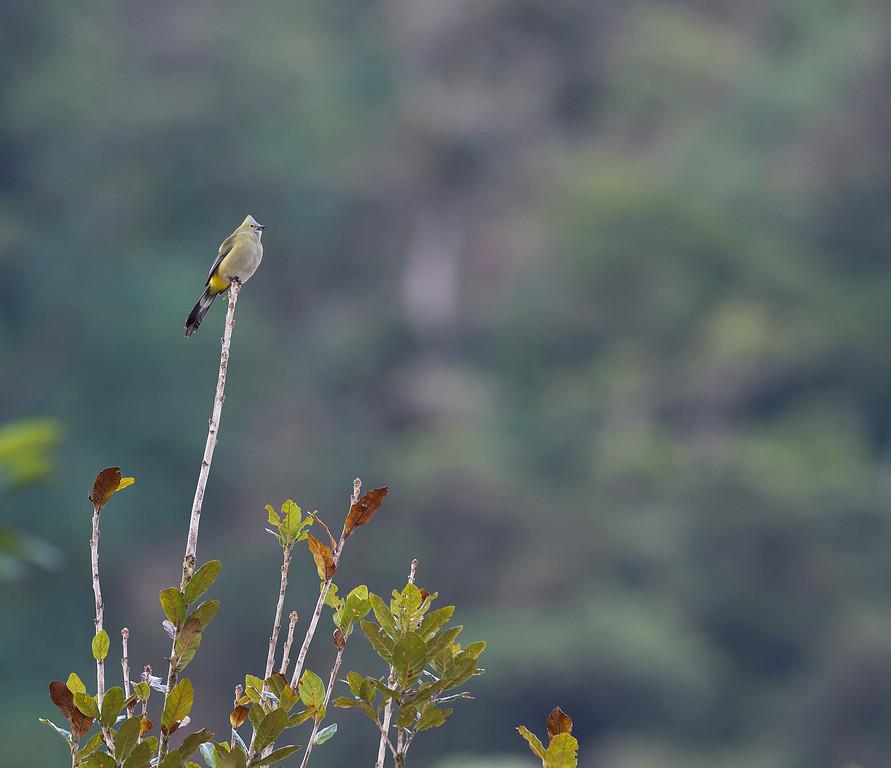 Long tailed silky flycatcher