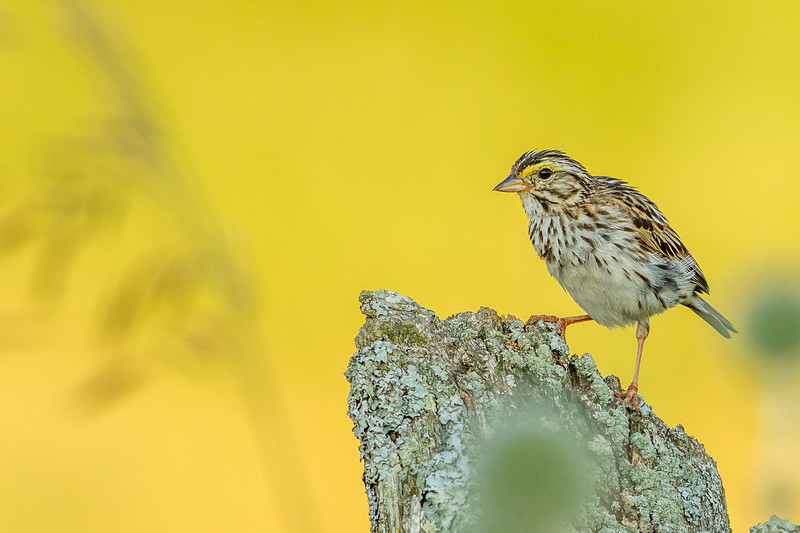 Savannah Sparrow, Greater Napanee, Ontario