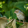 Clay-coloured Sparrow, Trenton, Ontario