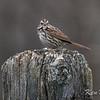 Mer Bleue, song sparrow: Melospiza melodia