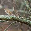 field sparrow: Spizella pusilla, High Road South Airport