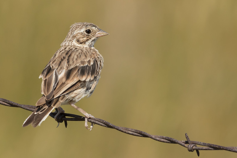Vesper Sparrow, Jamestown, North Dakota