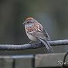 American tree sparrow: Spizella arborea, yard