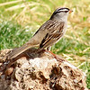 White-crowned Sparrow <br /> Bridgeton, MO 2005-05-07<br /> <br /> No. 26 on my Lifetime List of Birds <br /> Photographed in Missouri