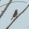 Mer Bleue, swamp sparrow: Melospiza georgiana