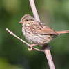 Song Sparrow, Prince Edward Point National Wildlife Area, Ontario