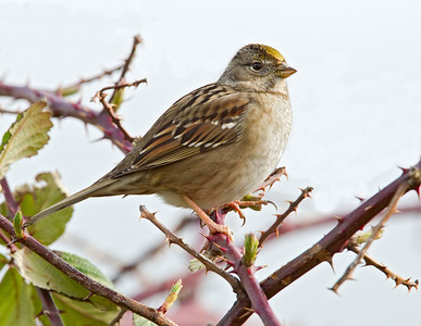 Golden-crowned Sparrow, Sauvie island