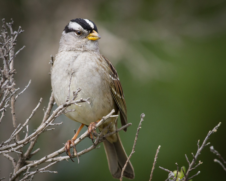 White-crowned Sparrow, Point Reyes National Seashore, California