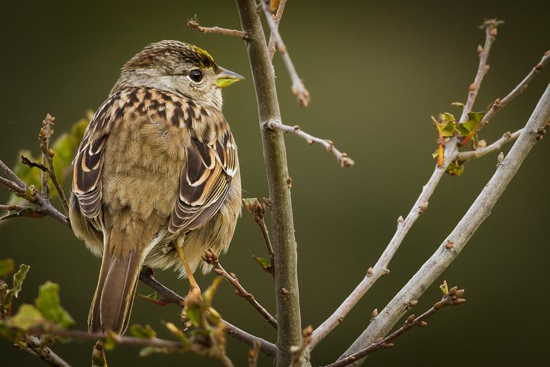 Golden-crowned Sparrow, Point Reyes National Seashore, California