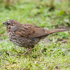 British Columbia, Burnaby Lake, fox sparrow: Passerella iliaca