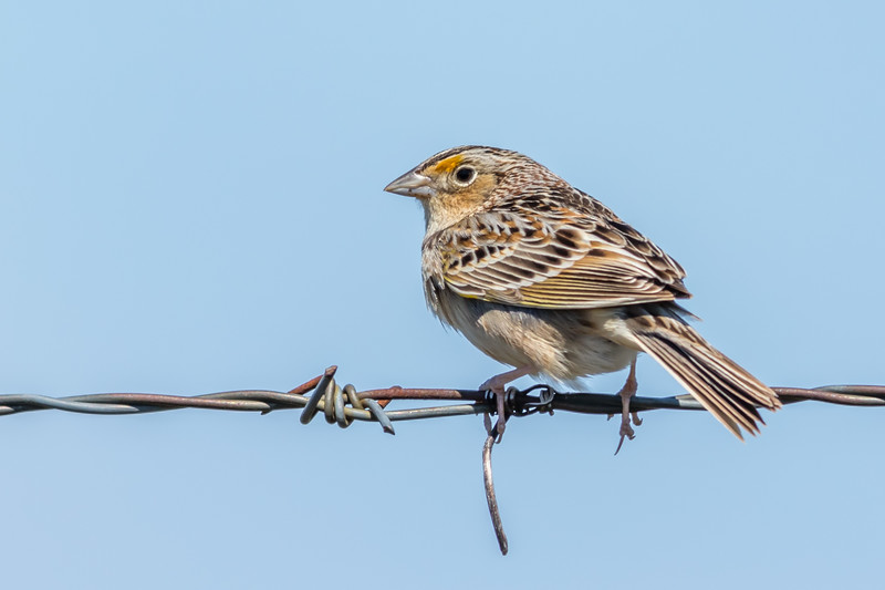 Grasshopper Sparrow, Point Petre, Prince Edward County, Ontario