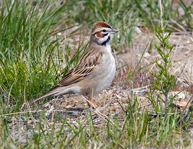 Lark Sparrow, Malheur NWR